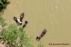 Horses bathing in Cauto River, Cuba (Sebastiao P Nunes) Tags: riocauto cauto cautoriver horses cavalos cavallos bath banho nunes spnunes snunes spereiranunes canoneos70d cuba granma
