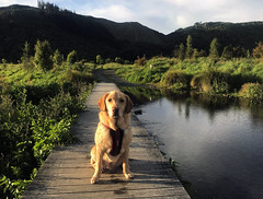 Silverstream (Wozza_NZ) Tags: labrador spanador dog walk walkies huttriver upperhutt silverstream wellington newzealand sit stay
