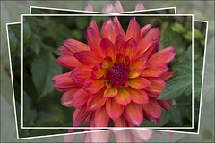 The fire within (Audrey A Jackson) Tags: canon60d nature garden petals colour smartphotoeditor