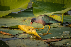 Early Morning Forager Among the Lotus Pads (Selkii's Photos) Tags: anahuacnwr birds chamberscounty familyrallidae nationalwildliferefuge ordergruiformes porphyrulamartinica purplegallinule rail texas porphyriomartinicus porphyriomartinica americanpurplegallinule
