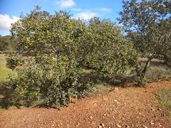 IMG_20181121_125441 (Fernando Moital) Tags: azinhal montado lpn ataboeira castroverde azinheiras