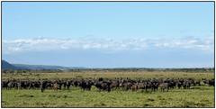 180915-1428 AFRICAN BUFFALO HERD (28HR) Tags: travel africa kenya safari maasai masai mara wildlife animal buffalo herd