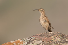 Bandurrilla (ik_kil) Tags: bandurrilla scalethroatedearthcreeper upucerthiadumetaria farellones avesdechile birds regiónmetropolitana chile
