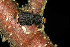 Platyrhinus resinosus (chug14) Tags: anthribidae anthribinae macro insect nature animalia arthropoda hexapoda insecta coleoptera curculionoidea curculioresinosus anthribuslatirostris platyrhinusresinosus