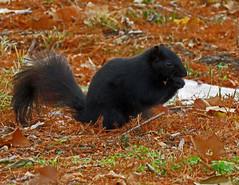 IMG_1672 (lbj.birds) Tags: kansas nature flinthills wildlife squirrel melanisticeasternfoxsquirrel easternfoxsquirrel