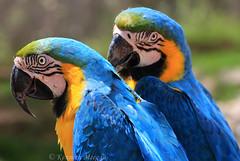 Blue and Yellow Macaw (Ken Meegan) Tags: blueandyellowmacaw lamarquesaforestpark guaynabo puertorico 2622015 blueandgoldmacaw macaw bird