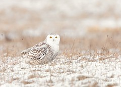 Snowy Owl (T L Sepkovic) Tags: snowyowl owl raptor birdsofprey snow field winter canon teamcanon 5dmkiv lenscoat promediagear wildlife wildlifephotography