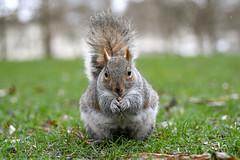 And today on the biggest loser UK (karina Novakova) Tags: squirrel squirrels bokeh animal animals close closeup mammal cute cuteness nature tail bush bushy tre trees tree