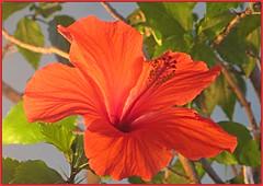 Macro Hibiscus (bigbrowneyez) Tags: macro hibiscus flower bright lovely pretty delightful leaves bokeh beautiful striking stunning mygarden miogiardino elegant delicate transparent nature natura bello bellissimo gorgeous frame cornice dof ottawa ontario canada macrohibiscus red rosso petals blossom