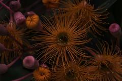 red gum (Greg Rohan) Tags: macro depthoffield dof redflower flowering nature flower australiangumtree gumtree tree gum red d750 2018 nikon nikkor