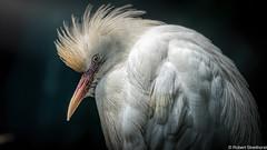 Einstein (Robert Streithorst) Tags: bird cincinnatizoo feathers robertstreithorst white zoosofnorthamerica