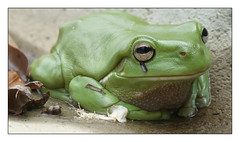 Nambucca Heads (marcel.rodrigue) Tags: nambuccaheads marcelrodrigue coffscoast photography midnorthcoast newsouthwales australia green frog wildlife