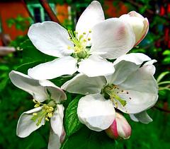 цвет яблони (lvv1937) Tags: яблоня цвет макро дача весна inexplore1 earthtoday1 wearefromyandexfotkiмыизяфа