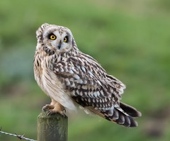 Short-eared Owl (Lutra77) Tags: shortearedowl asioflammeus wildlife britishbirds birds birdsofprey nature naturephotography owls