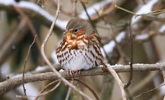 Fox Sparrow (wvsawwhet) Tags: sparrow foxsparrow westvirginia wv westvirginiabirds marioncounty bird birding birds birdwatching birdsofwestvirginia nature wildlife winter