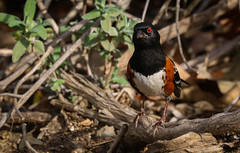 Spotted Towhee Inceville Los Liones Canyon California 016 (pekabo90401) Tags: spottedtowhee towhee pekabo90401 inceville losliones loslionescanyon canon camaraderie 100400 80d canon80d canyonmonkey wesen pacificpalisadesbirds southerncaliforniabirds birdwatching birdwatchinglosangeles tohitacheté toquídesocorro lightroom lind avem oiseau sparrow pipilomaculatus branchmonkey wintertime winterlight