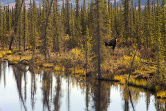 Moose near Dalton Highway (JR-pharma) Tags: alaska usa united october northwest north west automne fall states america roadtrip road trip photoroadtrip hiking hike 2015 french français nature aventure liberty liberté canoneos6d canon6d mark 1 canon eos 6d classic jrpharma daltonhighway dalton highway wiseman coldfoot