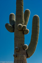Saguaro Detail (Ralph Earlandson) Tags: cactus arizona saguaronationalpark tucson saguaro saguaronationalparkwest