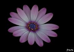 Sliding Into Summer (Don's Photostream) Tags: flower summer daisy sigma18028 180f56 nikon iso400