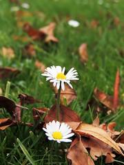 Confused (Shahrazad26) Tags: madeliefjes daisies marguerites gänseblümchen herfst autumn fall automne herbst landgoedclingendael clingendael clingendaelestate denhaag sgravenhage thehague lahaye zuidholland nederland holland thenetherlands paysbas