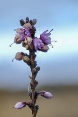 Close up flower in heath (j.a.vink) Tags: 1855 netherlands fujifilm flower fujifilm1855mm fujixt2