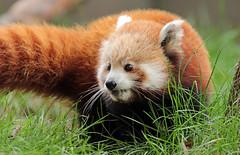 red panda Blijdorp 094A0365 (j.a.kok) Tags: panda redpanda rodepanda kleinepanda animal asia azie china mammal zoogdier dier blijdorp babypanda blijdorpzoo