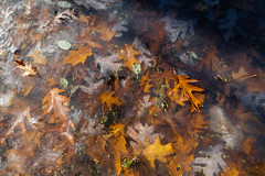 Lapham Delafield Segments Ice Age Trail-30.jpg (NetAgra) Tags: kettlepond waukeshacounty frosty orange color autumn frozen iceagetrail wisconsin leaves cold novermber brown fall oak red