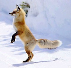 @everythingfox September 16 2018 at 12:12AM (hellfireassault) Tags: foxes everythingfox september 16 2018 1212am fantasticfoxes november 0224pm