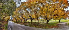 8R9A5185-91Ptzl1TBbLGERkM2 (ultravivid imaging) Tags: ultravividimaging ultra vivid imaging ultravivid colorful canon canon5dm3 trees twilight rainyday road rural autumncolors autumn tree pennsylvania pa panoramic landscape lateafternoon rain