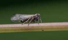 Javesella pellucida (Fabricius, 1794), male (Benjamin Fabian) Tags: auchenorrhyncha plant hopper hemiptera hexapoda arthropod insect close up macro javesella pellucida