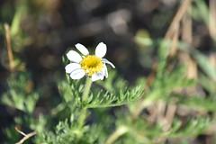 Margarita (esta_ahi) Tags: santmartísarroca margarita flor flora flores silvestres compositae asteraceae penedès barcelona españa spain испания