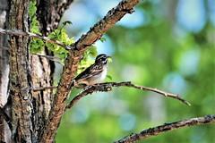 Sparrow- Lark Sparrow, Minnesota, Sherburne County, Sherburne National Wildlife Refuge (EC Leatherberry) Tags: sparrow sherburnecounty sherburnenationalwildliferefuge nationalwildliferefuge usfishandwildlifeservice bird wildlife larksparrow chondestesgrammacus