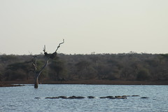 Sunset Dam (Rckr88) Tags: krugernationalpark southafrica kruger national park south africa sunset dam sunsetdam dams lake lakes water animals animal hippo hippos hippopotamus nature outdoors travel wildlife
