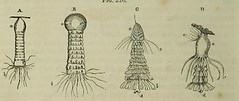 This image is taken from Page 468 of The microscope: and its revelations (Medical Heritage Library, Inc.) Tags: microscopy natural history wellcomelibrary ukmhl medicalheritagelibrary europeanlibraries date1856 idb28136974