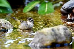 Palm Warbler DSC_8700 (blthornburgh) Tags: warbler palmwarbler bird songbird migration thursday bog bath tampa florida rock water thornburgh