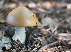 (Bárbara L.F.) Tags: mushrooms mushroom setas seta bolets bolet oudereig