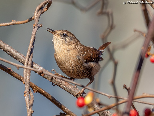 """Winter Wren (Photo Lifer) • <a style=""""font-size:0.8em;"""" href=""""http://www.flickr.com/photos/59465790@N04/44946627085/"""" target=""""_blank"""">View on Flickr</a>"""
