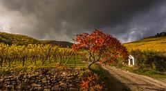DSC_2029 (Law yvan) Tags: vignoble alsace automne kintzheim