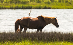 Assateague Island horse with Cattle Egret by Zachary Doan (Maryland DNR) Tags: 2018 photocontest wildlife mammals ponies horses assateague