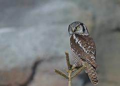 Northern Hawk Owl...#45 (Guy Lichter Photography - 4.2M views Thank you) Tags: canon 5d3 canada manitoba winnipeg wildlife animals birds owl owls northernhawkowl