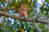 Hoernchen-2018-3361.jpg (Joachim Dobler) Tags: eichhörnchen eichhoernchen squirrel écureuil ardilla scoiattolo esquilo nature natur nagetier esquito wildlife animal cute naturephotography squirrellove wildlifephotography bestsquirrel nutsaboutsquirrels cuteanimals