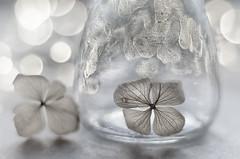 White still life (bresciano.carla) Tags: trioplan28100mm vintagelens pentaxk500 white bokeh bubbles bw glass flower driedflowers m42 light manualfocus manuallens