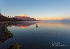 Swans also look at Mt. Fuji (yamanaito) Tags: 東京カメラ部 白鳥 山中湖 山梨 富士山 湖畔 霧 けあらし fujisan fujiyama fuji mtfuji lake yamanakako yamanashi japan morning mountain landscape bird swan
