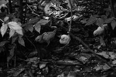 pintinhos (medeiros.raissa) Tags: filhotes pintinhos parque pássaro