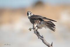Peregrina Falcon (johnbacaring) Tags: wildlife raptor birdsofprey nature birds birding canon canonphotography peregrine falcon peregrinefalcon newjersey jerseyshore