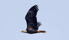 _U7A9477 (rpealit) Tags: scenery wildlife nature conowingo dam susquehanna river maryland bald eagle flying bird