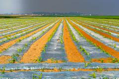 Forçage (JDAMI) Tags: forçage semis maïs champs sillons argile limon picardie somme 80 france villersbretonneux agriculture nikon d600 tamron 2470 ciel horizon hautsdefrance perspective