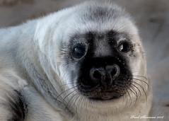 Cuteness Overload (muppet1970) Tags: seal horsey norfolk greyseal mammal cute