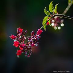 Glitter (Thanh_Tung) Tags: macro glitter flower frost dew bokeh tamron nikon