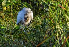Wood stork with fish (Mike_FL) Tags: woodstorkwithfish nikon nikond7500 nature evergladesnationalpark tamron100400mmf4563divcusda035 bird outdor floridawildlife florida image photograph